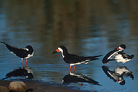 578613027 three wild black skimmers rynchops niger preen and rest in a shallow pond at salton sea national wildlife refuge in southern california