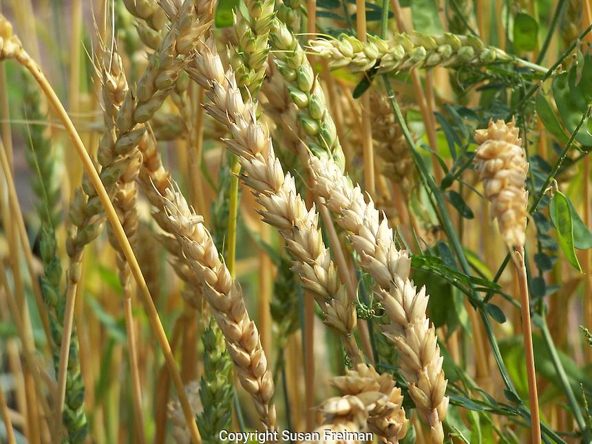 Winter wheat, Joan Gussow's garden, Piermont, NY