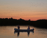 Purple Martins; Progne subis; staging for southbound migration; NJ, Maurice River, Cumberland Co.