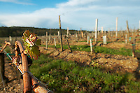 bud burst on the vine vineyard chateau pey la tour bordeaux france