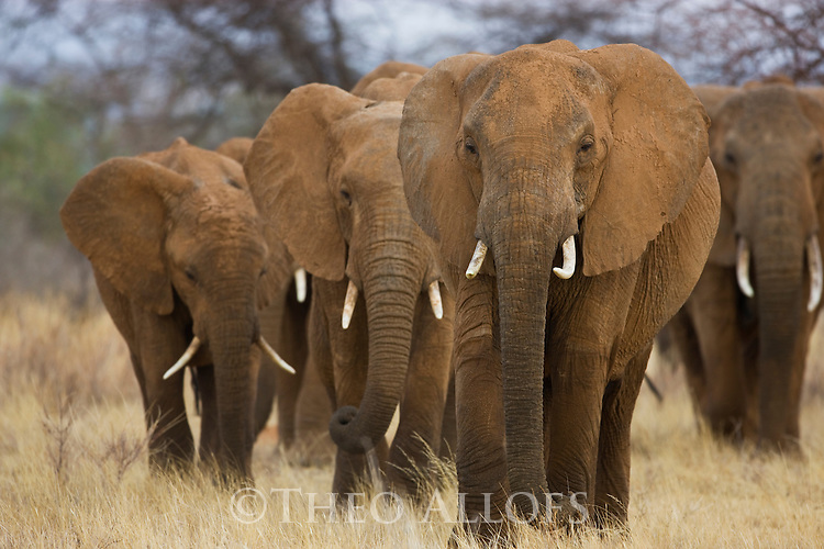 African elephants (Loxodonta africana) approaching in dry grassland, Samburu National Park, Kenya