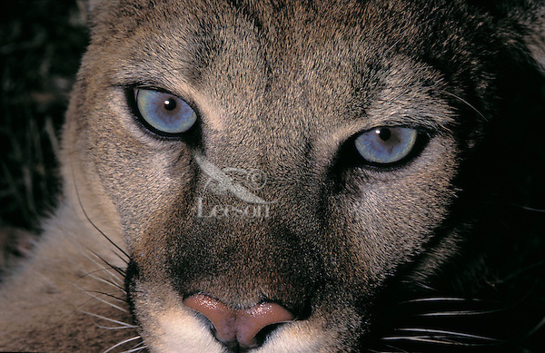 COUGAR (Felis concolor)..Female. Summer. Rocky Mountains.