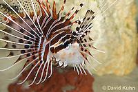 0130-1011  Antennata Lionfish (Broad-Banded Firefish, Spotfin Lionfish), Pterois antennata  © David Kuhn/Dwight Kuhn Photography
