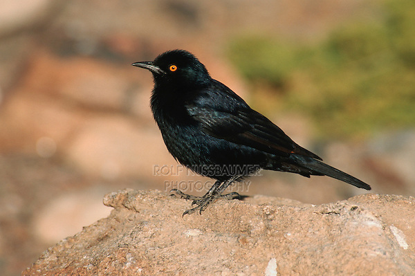 Cape Glossy Starling (Lamprotornis nitens),adult, Namibia, Africa