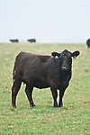 Black Angus Cattle in Kentucky.