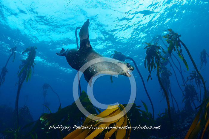 Arctocephalus pusillus, Suedafrikanicher Seebaer unterwasser zwischen Tang, South African fur seal diving underwater between seaweed, False Bay, Simons Town, Südafrika, Indischer Ocean, False bay, Simons Town, South Africa, Indian Ocean
