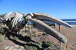 Gray whale skeleton at the Long Marine Lab in Santa Cruz
