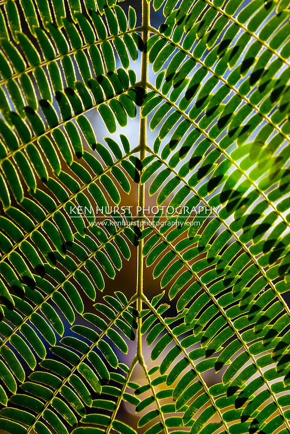 Backlighted geometrically symmetrical leaves of a Mimosa tree (Albizia julibrissin).