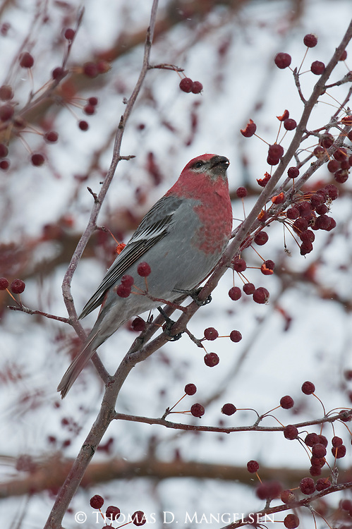 A pine grosbeak eats crabapples in Jackson, Wyoming.