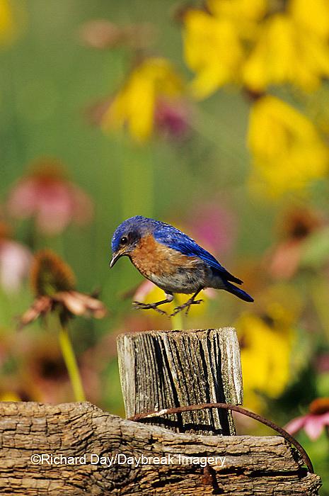 01377-09708 Eastern Bluebird (Sialia sialis) male on fence post near flower garden, Marion Co. IL