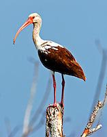 White ibis juvenile on tree stump