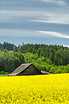 Barn and mustard field, Washington county, Oregon