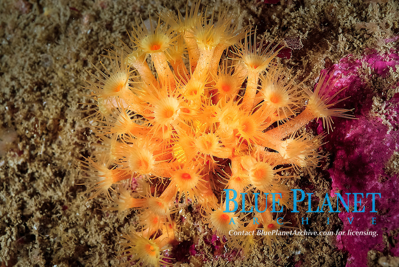 Colony of yellow encrusting anemone, Parazoanthus axinellae, off coast of Ploumanach, North Brittany, North of France, Atlantic Ocean, Europe,