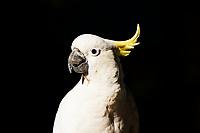 Sulphur-crested cockatoo (Cacatua galerita), portrait.