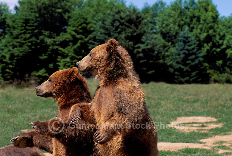 Kodiak Bears aka Alaskan Grizzly Bears and Alaska Brown Bears (Ursus arctos middendorffi) - North American Wild Animals