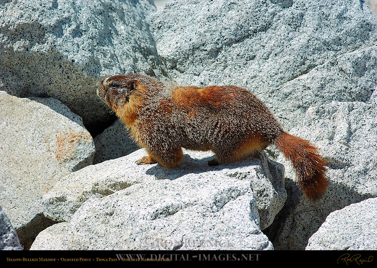 Yellow-Bellied Marmot, Rock Chuck, Marmota flaviventris, Olmsted Point on Tioga Road, Tioga Pass, Yosemite National Park