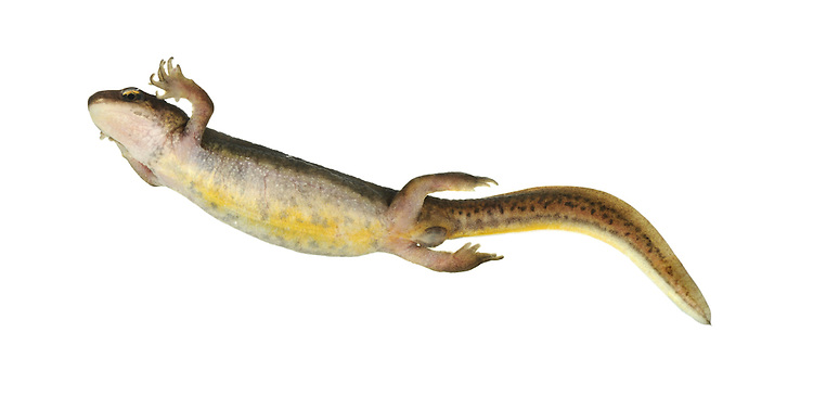 Palmate Newt Triturus helveticus Length 8-9cm A small newt. Adult has yellowish belly and pinkish, unspotted throat at all times. Note hint of pale vertical stripe above hind legs. Breeding male develops diagnostic palmations between toes on hind feet and thin filament projecting from tip of blunt tail. Body is olive-brown with dark marbling; orange-buff band extends along flanks and side of tail. Colours are duller at other times but retains dark eye stripe. Female is yellowish brown. Unspotted throat allows separation from female Smooth Newt (throat is spotted). Juvenile resembles an adult female. Locally common in neutral to acid ponds in breeding season, often on heaths and moors. Found in grassy habitats at other times.