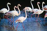 Greater flamingos, Ile de la Camargue, France.