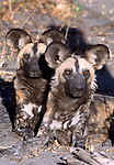 African wild dgos, Kwando Reserve, Botswana