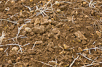 Limestone on the field after potato harvest - Lincolnshire, October
