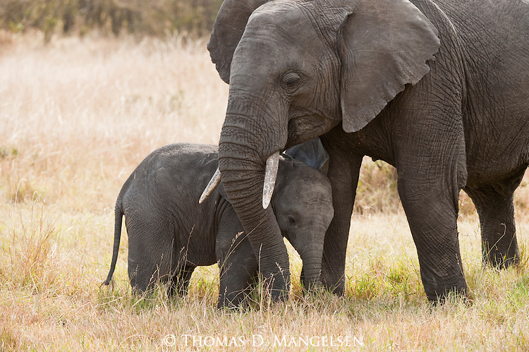 An elephant nuzzles her young in Masai Mara, Kenya.