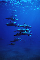 Spinner dolphins, Stenella longirostris, rest along coastlines during the day and feed in open ocean at night. Hawaii.