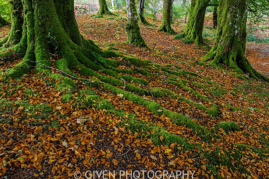 Beech Trees, Isle of Skye, Scotland