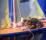 AE2BWA Frog sailing a toy sailing boat with yellow sails
