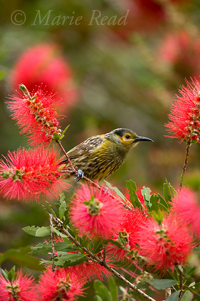 Macleay's Honeyeater (Xanthotis macleayana) amid bottlebrush (Callistemon sp.) flowers, Atherton Tableland, Queensland, Australia.
