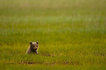 A brown bear cub sits in a grassy meadow in Lake Clark National Park Alaska, June 24, 2008.