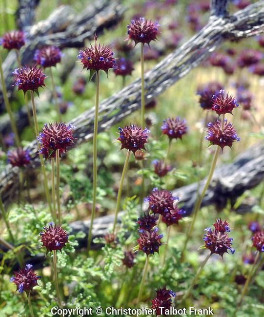 USA; California, Chia wildflowers in Anza Borrego Desert State Park