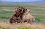 USA, Alaska, Katmai National Park, brown bears (Ursus arctos)