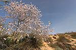 Israel, Southern Coastal Plain. An Almond tree at Nitzanim Sand Dune Park