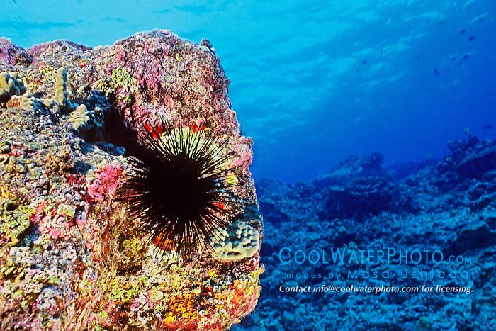 Long-spined sea urchin, Diadema paucispinum, Kona Coast, Big Island, Hawaii, Pacific Ocean