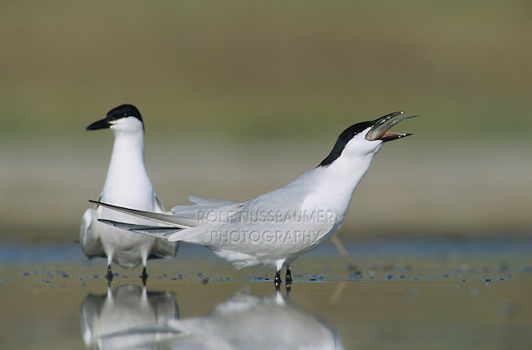 Gull-billed Tern, Sterna nilotica, pair with fish courtship, Welder Wildlife Refuge, Sinton, Texas, USA