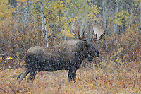 Moose, Alces alces, bull in snowstorm with aspen trees in background in fallcolors, Grand Teton NP,Wyoming, USA