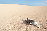 Dead Gull on sand dune, Corralejo Dunes National Park (Parque Natural de las Dunas de Corralejo), Fuerteventura, Canary Islands, Spain