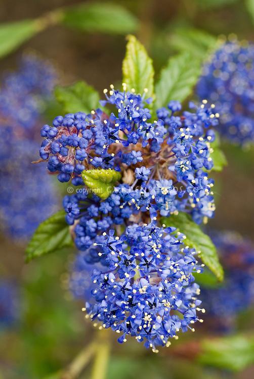 ceanothus concha closeup of blue flower cluster