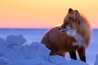 A red fox looks for food from a snow pile on Alaska's north slope during a vibrant sunset.