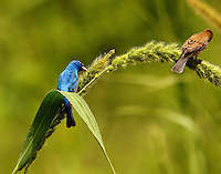 Male and female indigo buntings feeding on seedhead