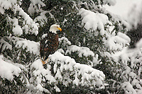 A Bald Eagle in winter, Chugach National Forest, Alask