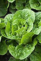 Closeup of Lettuce Little Gem salad vegetable growing