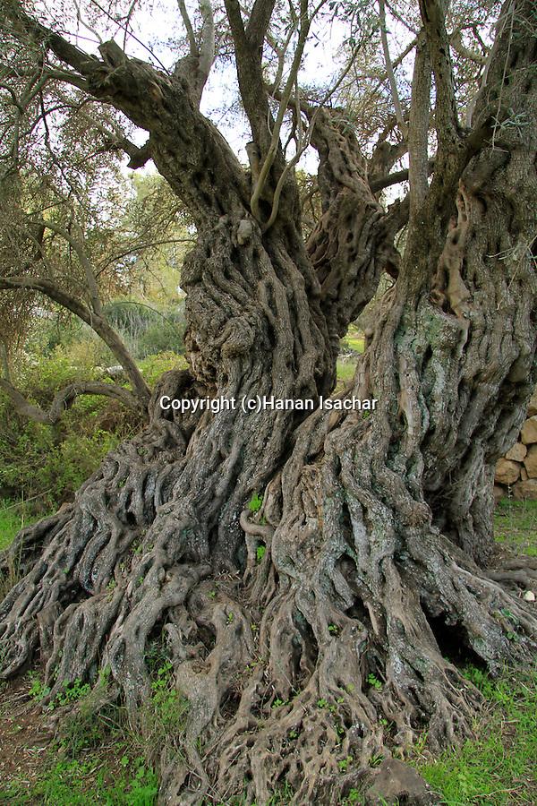 Israel, Shephelah, the ancient Olive tree in Bet Gemel