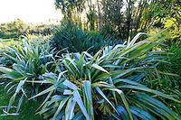 France, Manche (50), Vauville, Jardin botanique du château de Vauville, la grande pelouse bordée de cordylines australes (Cordyline Australis) et d'astélies des îles Chatam  (Astelia chathamica) au feuilles argentées