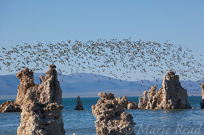 Wilson's Phalaropes (Phalaropus tricolor), flock flying over tufa formations at Mono Lake, California, USA