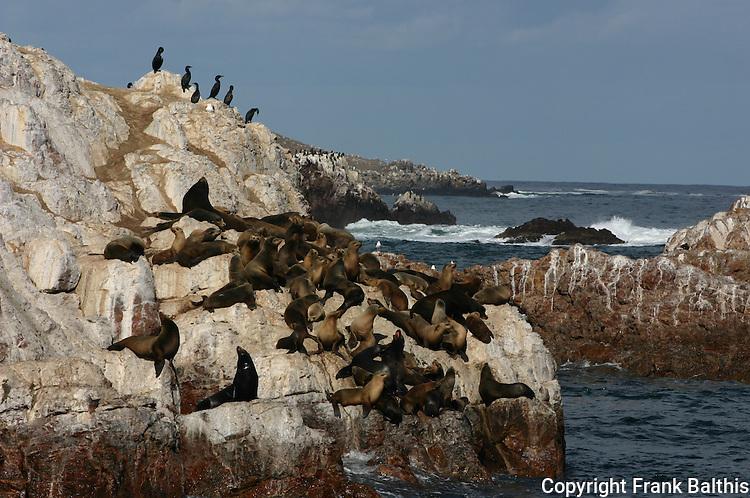 CA sea lions and cormorants, Isla Todos Santos, Baja California