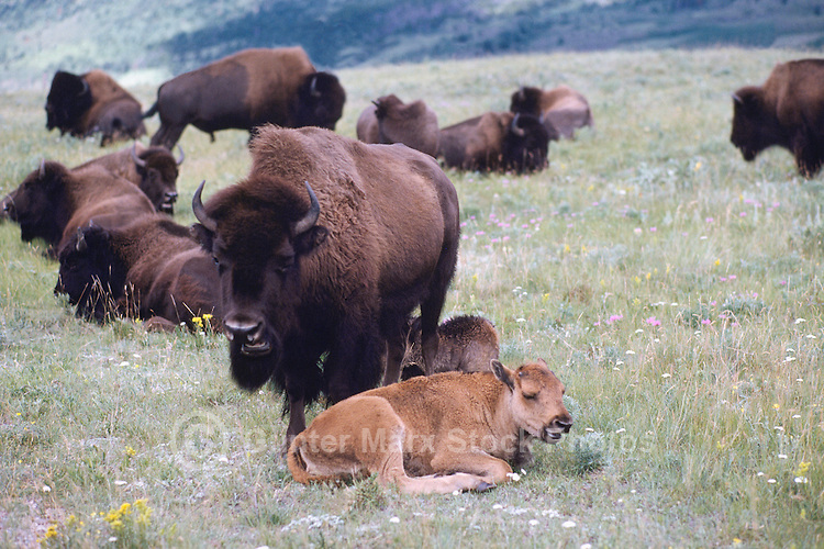 Buffalo Cow and Calf with Herd, aka American Bison (Bison bison) roaming in Paddock, Waterton Lakes National Park, Canadian Rockies, Alberta, Canada