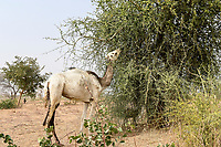 NIGER, Maradi, village Dan Bako, desertification, camel having leaves from thorn tree