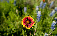An Indian Blanket flower blooms along Highway 281, in Hill Country, Texas, April 26, 2010. Amongst others, Blue Bonnets, Indian Paint Brush, Indian Blanket, Winecup, Black Eyed Susan and Daisies are common along the highway...PHOTOS/ MATT NAGER