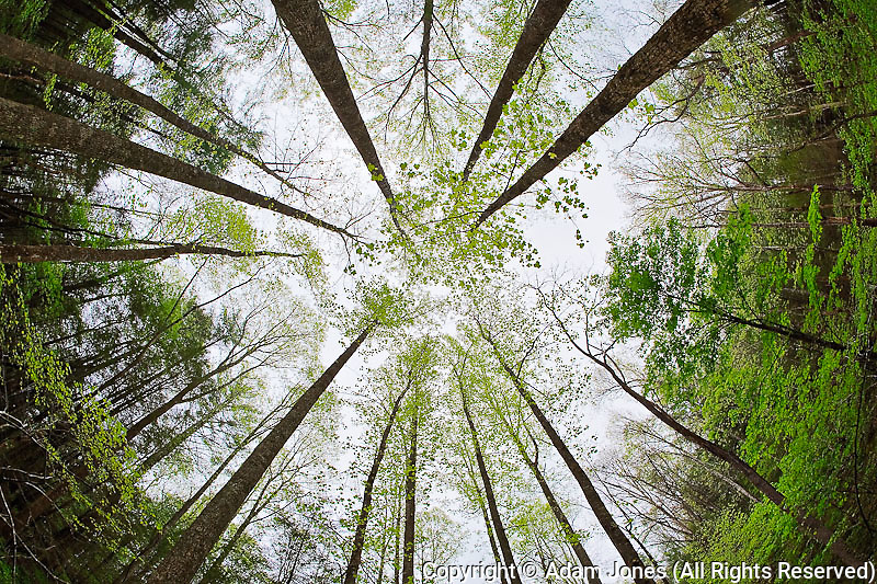 Fisheye view skyward of forest in early spring, Whiteoak Sink, Great Smoky Mountains National Park, Tennessee